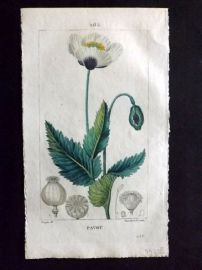Turpin C1815 Antique Botanical Print. Pavot. White Garden Poppy 265